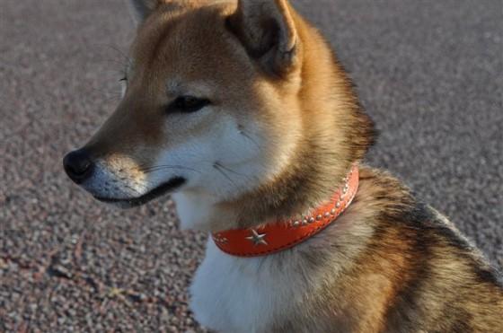 柴犬の茶太郎ちゃん