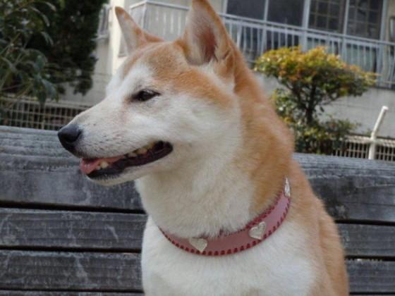 柴犬 杏ちゃん