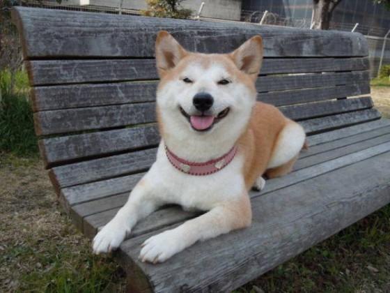 柴犬の杏ちゃん