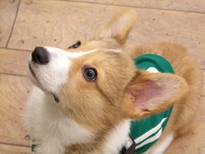コーギーの子犬ちゃん 5ヶ月