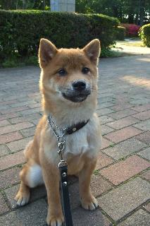 柴犬の子犬ちゃん