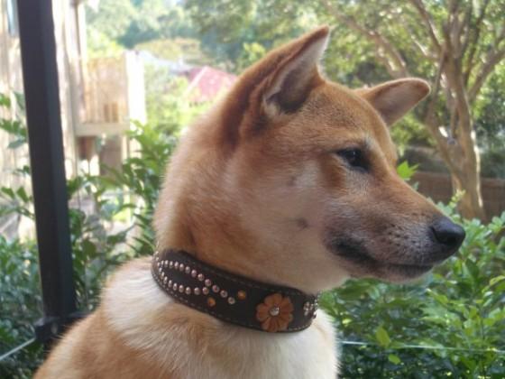 柴犬のハナコちゃん