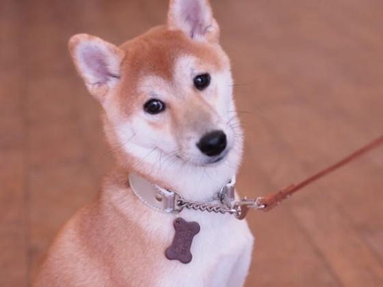 柴犬の小太郎