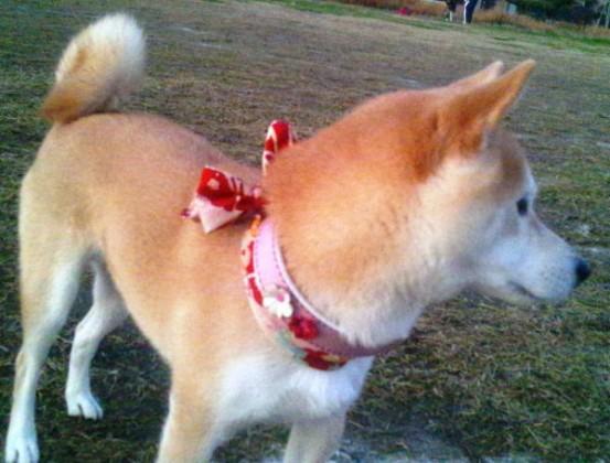 柴犬のフクちゃん