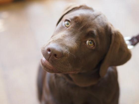 ラブラドールの子犬ちゃん♪