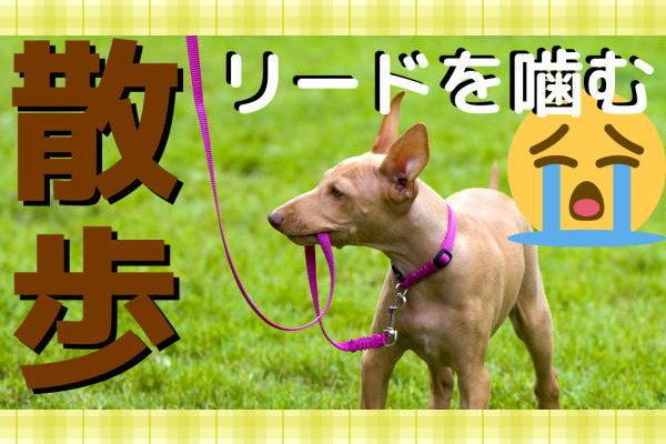 犬 リードを噛む